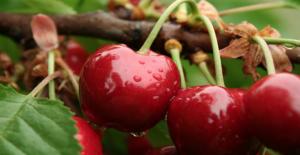 Kiraz sapının faydaları nelerdir? Zayıflatan kiraz sapı çayı nasıl demlenir?