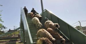 Kurbanlık Koyunları Üst Geçitten Yürüterek Hayvan Pazarına Götürüyor