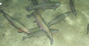 Sivas'ta Üretilen Alabalıklar Avrupa'da Sofraları Lezzetlendiriyor