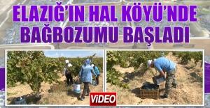 Elazığ'ın Hal Köyü'nde Bağbozumu Başladı
