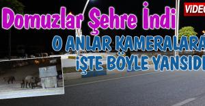 Tunceli'de Domuzlar Şehre İndi