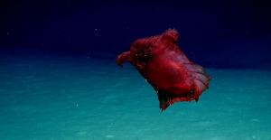 Antarktika'dan Çıkan Yeni Bir Garip Canlı Daha: Başsız Tavuk