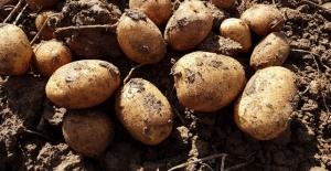 Niğde'de yerli ve milli patates çeşitlerinin tanıtımı yapıldı