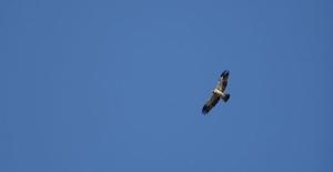 Türkiye'den Afrika'ya bir ayda 100 bin yırtıcı kuş göç etti