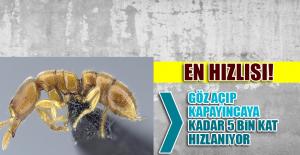 Dünyanın En Hızlı Hayvanı Belli Oldu: Drakula Karıncaları