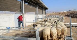 Anaç koyun keçi desteği için yeniden başvuru imkanı