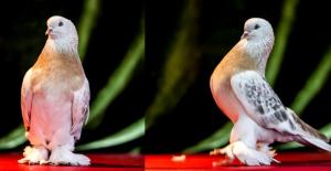 İlgi Her Geçen Gün Artıyor! Şebap Güvercinleri 100 Bin TL'ye Satılıyor