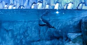 İstanbul Akvaryum gentoo penguenlere kucak açtı