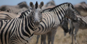 Zebraların Üzerindeki Çizgilerin Ne İşe Yaradığı Sorusunun Cevabı Açıklandı