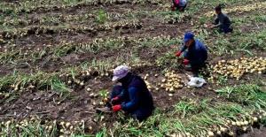 Nisan Sonunda Soğan Fiyatının 1-1,5 Lira Olması Bekleniyor