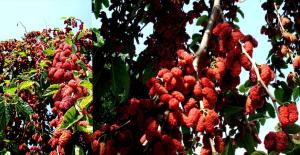 Yapraktan Çok Meyvesi Olan Dut Ağaçları Görenleri Hayrete Düşürdü