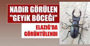 """""""Geyik Böceği"""" Elazığ'da Görüntülendi"""