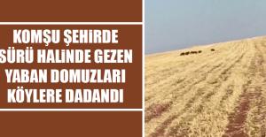 Komşu Şehirde Yaban Domuzları Köylere Dadandı