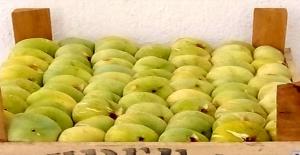 Mersin'in Mut ilçesinde incirde 5 bin ton rekolte bekleniyor! Kilosu 15 lira