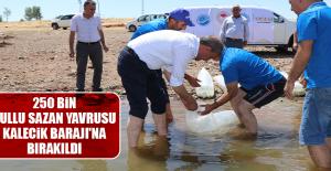 250 Bin Pullu Sazan Yavrusu Kalecik Barajı'na Bırakıldı