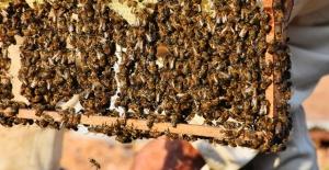 İklim değişikliği ve biyolojik kirlilik arı ölümlerini artırıyor