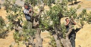 Terörden arındırılan bölgelerde fıstık ağaçları yeşerecek
