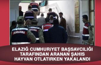 Elazığ Cumhuriyet Başsavcılığı Tarafından Aranan Şahıs Hayvan Otlatırken Yakalandı