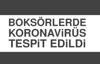 Boksörlerde Koronavirüs Tespit Edildi