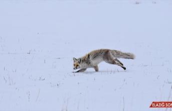Kars'ta yiyecek bulmakta zorlanan tilkilerin av mesaisi