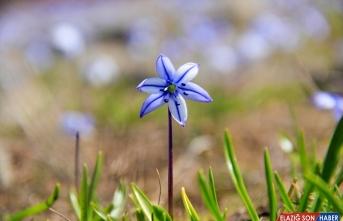 Ovacık'ta mavi kardelenler göz alıcı güzellikleriyle doğaya renk kattı