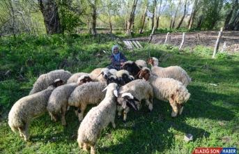 Tunceli'de baharın müjdecisi oğlak ve kuzular meraları şenlendirdi