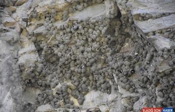 Ani'nin sarp kayalıkları kırlangıçlara yuva oldu