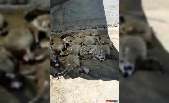 Elazığ'da ağıla giren kurtlar 22 koyunu telef etti