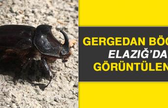 Gergedan Böceği Elazığ'da Görüntülendi