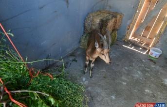 Tunceli'de bitkin halde bulunan yaban keçisi koruma altına alındı