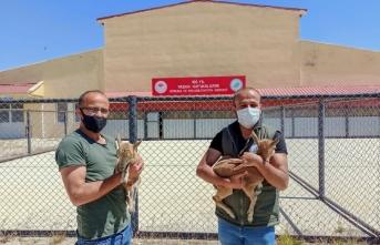 Van'da 2 yaban keçisi yavrusu koruma altına alındı
