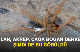 Oldukça Zehirli Örümcek Elazığ'da Görüldü