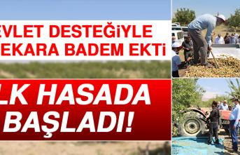 Devlet Desteğiyle 45 Dekara Badem Ekti, İlk Hasada Başladı