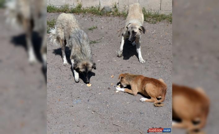 Baraj nedeniyle boşaltılan köyde sahipsiz kalan köpeklere vatandaşlar sahip çıkıyor