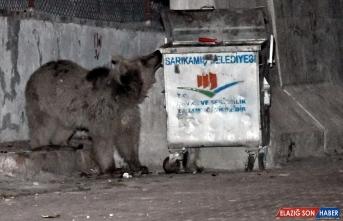 Sarıkamış'ta çatılarda dolaşıp sokaktaki çöp konteynerlerinde yiyecek arayan bozayılar kamerada