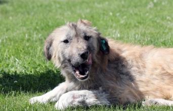 Van'da ölmek üzereyken bulunan köpek tedavi edildi