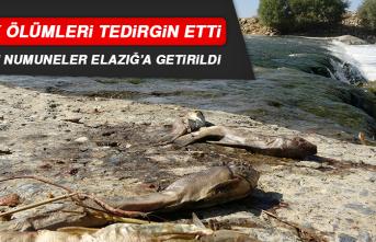 Balık Ölümleri Tedirgin Etti, Alınan Numuneler Elazığ'a Getirildi