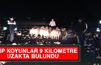Kayıp Koyunlar 9 Kilometre Uzakta Bulundu!