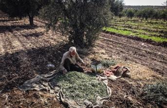 İdlib'de zeytin zamanı