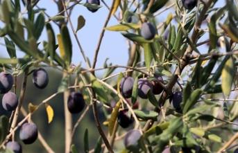 Zeytinyağının Litresi 20 liranın üzerinde satılıyor