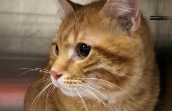 Balkondan düşen kedi protez damakla sağlığına kavuştu