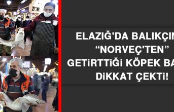 """Elazığ'da Balıkçının """"Norveç'ten"""" Getirttiği Köpek Balığı Dikkat Çekti"""