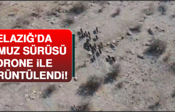 Elazığ'da Domuz Sürüsü Drone İle Görüntülendi