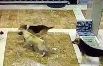 Anne kedi, yavrusuna saldıran köpekleri böyle kovaladı