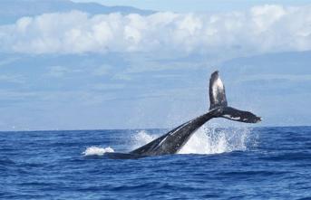 Japonya'da Kıyı Balina Avcılığı Sezonu Açıldı