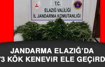 Jandarma Elazığ'da 73 Kök Kenevir Ele Geçirdi