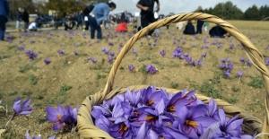 Karabük'te 2'nci Safran Festivali