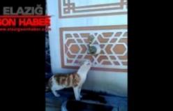 Elazığ'da Çeşmeden Su İçen Kedi Vatandaşları Gülümsetti