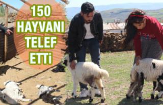 150 Hayvan Telef Oldu