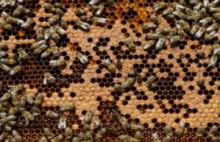 Aşırı soğuklar nedeniyle çok sayıda arı telef...